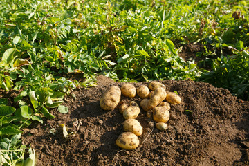 Pile of freshly dug potatoes on a field