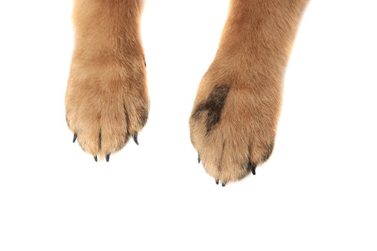 cute german shepard paws on white background