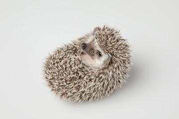 little grey hedgehog resting on its back