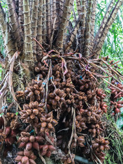 Salacca fruit on tree