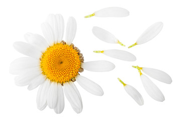 Poster Madeliefjes chamomile isolated on white background, clipping path, full depth of field