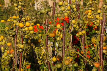 Tomato Cultivation in an Allotment Garden