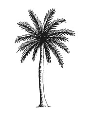 Hand drawn vector illustration of coconut palm tree.