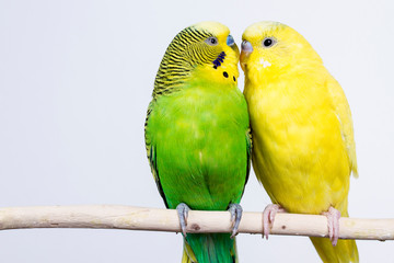 Papiers peints Perroquets budgerigar on white background isolate