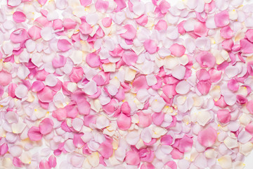 Pink rose flowers petals on white background. Flat lay, top view, copy space.