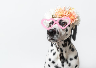 Dalmatian dog with heart shaped sunglasses and white and yellow floral crown. Chrysanthemum flower wreath. Copy space. Pet portrait