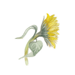 Sunflower, watercolor sunflower, watercolor illustration of an unblown sunflower, hand-drawn sketch, on a white background