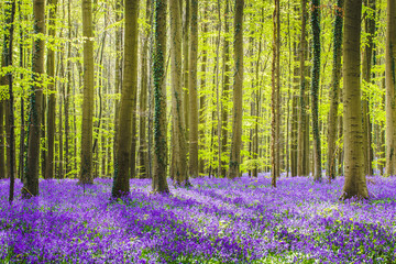 Hallerbos forest during springtime with bluebells flowers and green trees. Halle, Bruxelles, Belgium. Wall mural