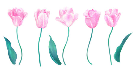 Set of pink tulips with stems and leaves. Elements for design in pastel colors. Hand drawn watercolor illustration. Isolated on white background.