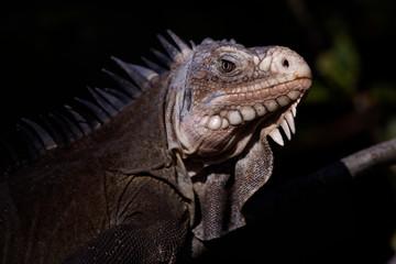 Iguane des petites Antilles (iguana delicatissima)