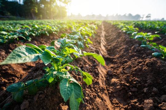 potato plant field