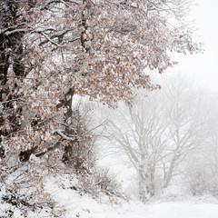 Oak with snow in winter