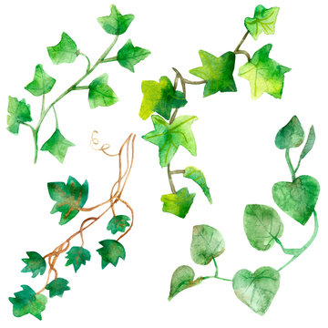 Watercolor painting of green ivy leaves isolated on a white background. Watercolor hand painted illustration. Green pattern of climbing branches and green leaves ,Wallpaper or textile illustration of