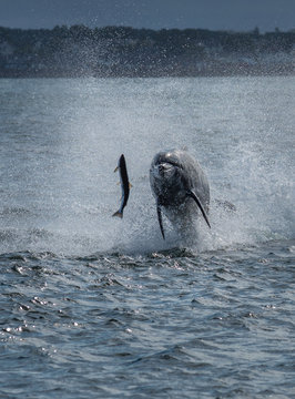 Hunting Bottlenose Dolphin Spectacularly Catches Salmon In The Moray Firth Near Inverness In Scotland