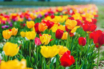 Colorful blooming tulip field in spring background