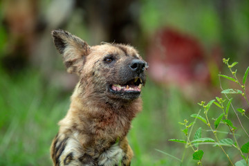 Wild dog showing some teeth as stands up