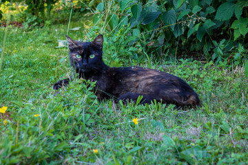 Black and brown tabby shorthair cat with open green eyes lies on grass European shorthair. Looking at camera. Closeup