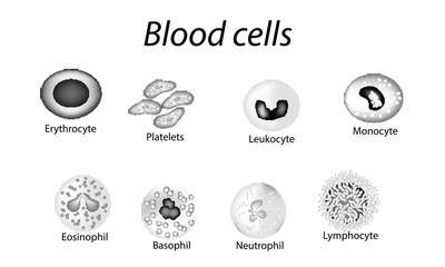 Blood cells. Set of monochrome cells. Red blood cells, platelets, leukocytes, lymphocytes, eosinophils, neutrophils, basophils, monocytes. Infographics. Vector illustration on isolated background