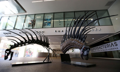 Replicas of the skeleton and the body of a newly identified dinosaur Bajadasaurus pronuspinax are seen in Buenos Aires