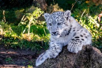 portrait of a baby snow leopard