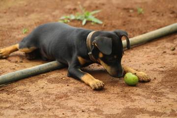 dog cao