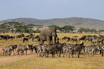Obraz The Great migration, Serengeti National Park, Tanzania - fototapety do salonu