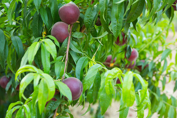Tasty peaches on tree branch in garden at summer day