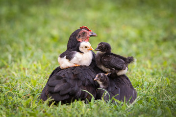 Hen with baby chicken