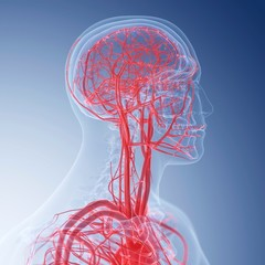 Illustration of the blood vessels of the head