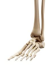 Illustration of the human foot bones