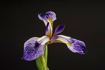 Fond de hotte en verre imprimé Iris Salonique bloom. Beautiful spring flower open petal. White with purple edges iris blossom blooming.