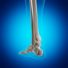 Illustration of the skeletal ankle