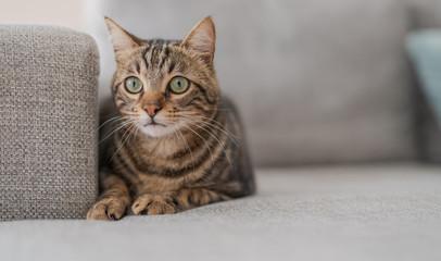 Beautiful short hair cat lying on the sofa at home Wall mural