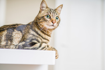 Cute short hair cat looking curious and snooping at home