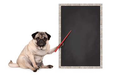 serious pug puppy dog sitting next to blank blackboard sign, holding red pointer, isolated on white background