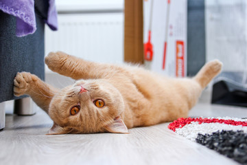A cute red haired tabby tomcat is lying on the floor and touching the sofa with his paws.  Wall mural