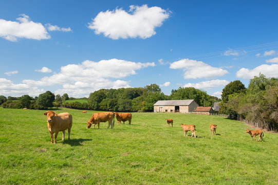 French landscape with brown cows
