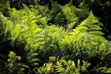 Green fern leaves in sunlight.