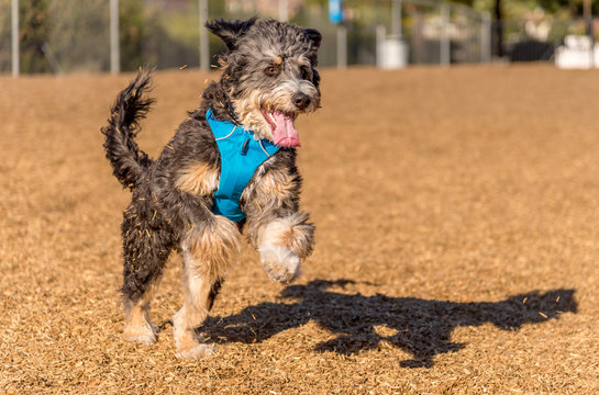 Bernedoodle playing and jumping in park. The Bernedoodle is a cross between a Bernese Mountain Dog and a Poodle