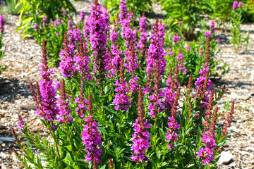 Blooming purple loosestrife (Lythrum salicaria) growing at a garden.