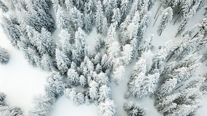 Tannenwald im Winter