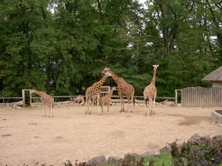 Giraffes in the enclosure, zoo Lesna, Zlin, Czech Republic