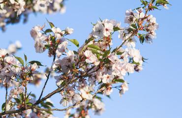 White sakura flowers blossom. Blue sky. Japan cherry tree in garden, spring time