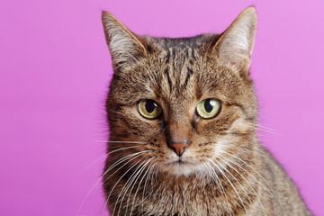 chat tigré européen tabby sur fond rose