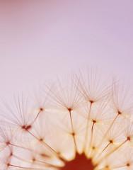 Dandelion and seeds macro