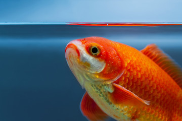 Close up view of fish in aquarium, water surface, blue background