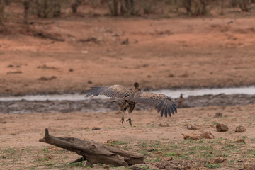 White backed vulture, South Africa