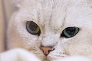 Face of white cat in close-up view.