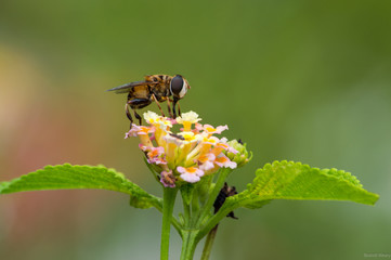 Hoverfly (Palpada sp.) at Biomuseo, Panama