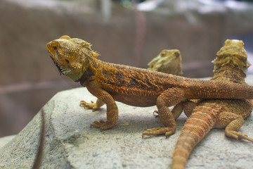 Bearded Dragon lizards being kept in an enclosure